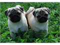 Pug  AKC Registered Show Quality Female and Male Pug PuppyS available if you are looking for The