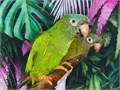 Beautiful Tame Pair of Blue Crown Conures for 3200 Now Shipping Nationwide USA No Emails Please
