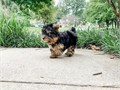 Healthy Yorkie puppies available they are AKC registered with all their shots up till date they ar