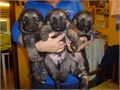 I have a beautiful German Shepherd puppies I am looking to rehome  them and they have their first