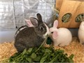 5 week old rex bunnies very friendly cute and lovable they make great pets and are very easy to car