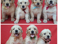 Beautiful Golden retriever puppies 2 males and 2 females available Shots and deworming up to da