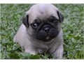 Precious pug PuppiesThe puppy will come with a well puppy warranty and a writte