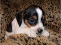 Beagle Male Female Small  80000 lasertawilliamsoutlookcom Our puppies are socialized to many