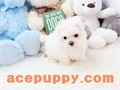 Top quality teacup Maltese pups are for salebeautiful 2 months old boy and girlextremely healt