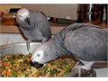 African grey for sale at 40000 for both with cage and papers with toys