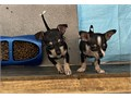 Chihuahua pups newborns to 8wks dad is chocolate Merle mom is red a black tan and a chocolate w