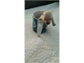 purebred teacup poodles available the parents are registered and the puppies come guaranteed for the