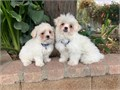 Maltipoo Puppies MaltesePoodle Mix 2 Males 9 weeks old Puppies are Hypoalle