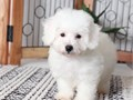 Bichon Frise puppiesAll puppies are AKC registered Puppies are raised in my homecontact us via
