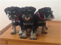 mini schnauzer born 122815 will be available 1st week in February There are 2 males available Pu