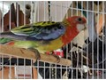 Rosellas  -Mealy Pale Head  Golden Mantle Firey Rubino Lutino Stanley from early this year cl