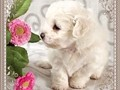 We have two beautiful Maltese puppies one male one female They are actually very adorable and play