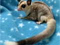 Sugar Glider Joeys Available Friendly and Health Guaranteed Males come Neutered We are USDA licen
