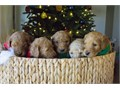 We have another beautiful litter of  f1b goldendoodle ppuppies on the way Taking deposits now heal