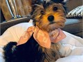Your lovely Male and Female Yorkie Puppies for sale  AKC registered purebred pe