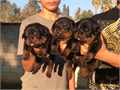 Badass Rottweilers OffersTop of the Line German Rottweiler PuppiesProfessional BreederAKC