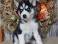 We have 3 cute and adorable Siberian Husky Puppies for adoption They are home trained and will make