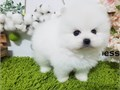 We are delighted to announce the availability of our adorable Pomeranian puppies