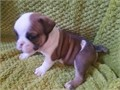 English Bulldog pups  extremely playfulstocky feller and is dripping in wrinklesvery luvabull  H