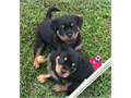 I have a very nice litter of Rottweiler puppies available  They will have current vaccinations and