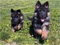 Theyre AKC registered updated on all shots potty trained socialized with people and other house ani