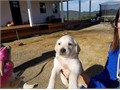 Adorable Yellow Lab Puppies  Both parents are papered These are great dogs who need a good home
