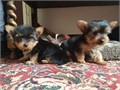 We have 2 male Yorkies and 1 female Yorkie they are Steel Blue  Tan in colour and are Toy sized bu