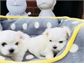 Beautiful teacup maltese puppies availablevet and up to datefine withkids and other petsand come