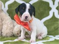 available for lovely homes are my beautiful jack Russel pups both male and femal