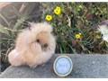Purebred Double Mane Lionhead Baby Rabbit10 weeks old MalesThick mane is starting to grow short