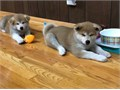 4 Super cute Akita Inu puppies are looking for a forever loving home 8 in this