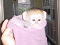 Two cute male  female capuchin monkeys ready for their new forever homeinterested contact