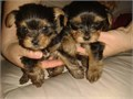 here i have my adorable cute yorkie pupsthey are just 12weeks of age very sad to see them go