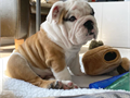 Adorable English bulldog puppies for sale both male an female