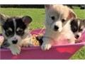Adorable outstanding Pembroke Welsh Corgi puppies  ready for their new and forever lovely homeGood