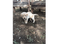 Up for adoption are beautiful Labrador Retriever puppies White and Yellows 5 Female and 2 Males B