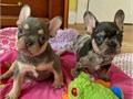 French Bulldog Puppies Puppies are brought up in the family home are visited regularly by the gran