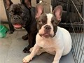 Well Trained French bulldog puppies available for adoption They are 14 weeks old very intelligent