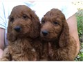 Cute Goldendoodle Puppies available theyre vet parvovirus tested has their shots and dewormed for
