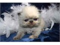 Persian Himalayan Seal Pt Male Kitten CFA simply adorable so sweet and cuddly from top lines s