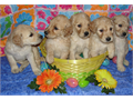 Goldendoodle Puppies- Standard size F1bs Dewclaws removed UTD on shots and worming Raised in our