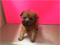 Maltipoo Dob 46 Up To Date On Shots And Deworm By A Licensed Breeder Over 20 Years Experience T