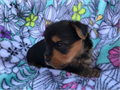 Teacup Yorkie Home Full pedigree with papersThey are healthy and very playful