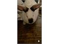 Female rabbit for sale around 5 months