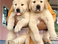 Golden retriever puppies girl and boy puppies12 weeks old are so cute  They have a very loving natu