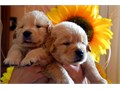 Golden Retriever for sell call us at 415-236-3926