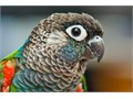 Baby pearly Conure 3 Months Old Hand Fed  Hand Raised Tame  Very Friendly That Not Bite At All
