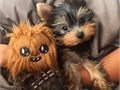 Hi we have beautiful Yorkie puppies for sale They come in various colors They