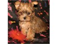 BEAUTIFUL YORKIES PUPPIES FOR SALE WE HAVE MALE AND FEMALES BLONDISH COLOR AND BLACK AND BLOND MALE
